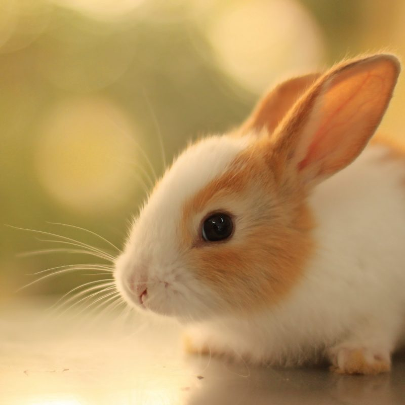 10 Most Popular Cute Baby Bunny Pictures FULL HD 1920×1080 For PC Desktop 2018 free download cute baby rabbits all these animals pinterest rabbit and animal 800x800