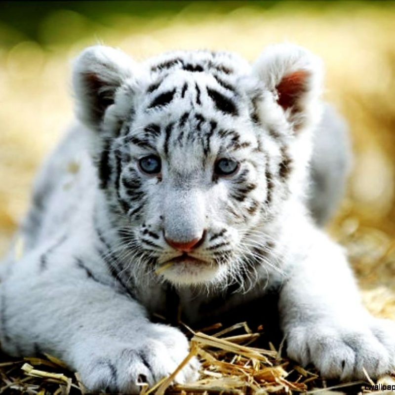 10 Latest Pictures Of Baby White Tigers FULL HD 1080p For PC Background 2020 free download cute baby white tigers wallpapers gallery 800x800