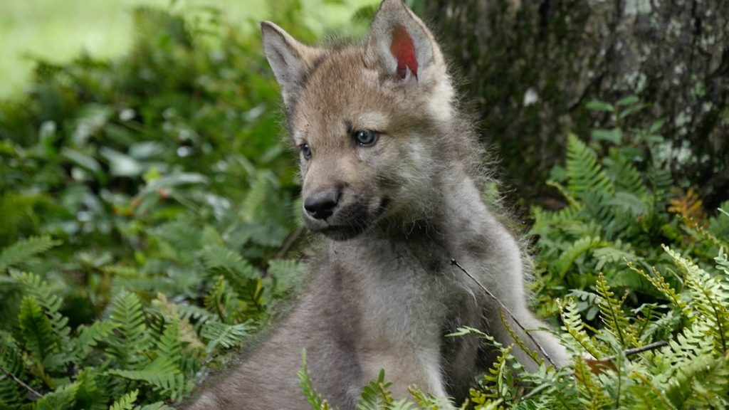 10 Most Popular Images Of Baby Wolves FULL HD 1920×1080 For PC Background 2018 free download cute baby wolf pups go outside for the first time youtube 1024x576