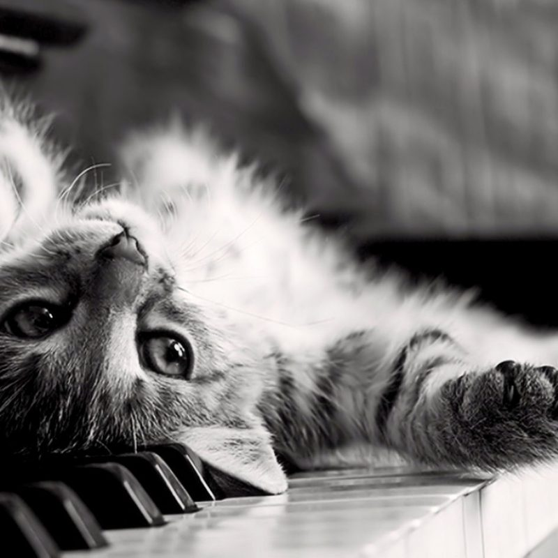 10 Best Cat Wallpaper For Computer FULL HD 1080p For PC Background 2018 free download cute cat on the piano wallpaper full hd 5440 wallpaper high 800x800