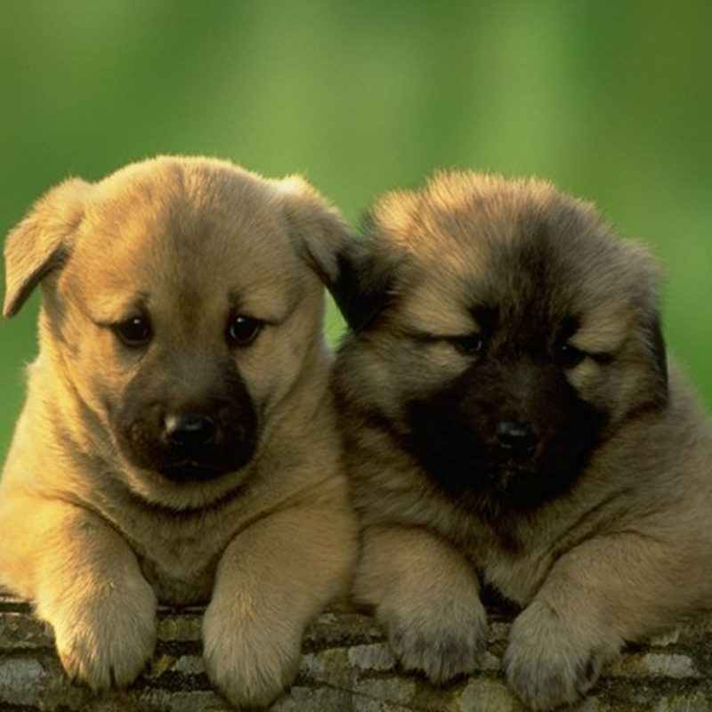 10 Most Popular Cute Puppies Wallpapers Free Download FULL HD 1920×1080 For PC Background 2018 free download cute dogs and puppies wallpaper wallpapers trends update 800x800