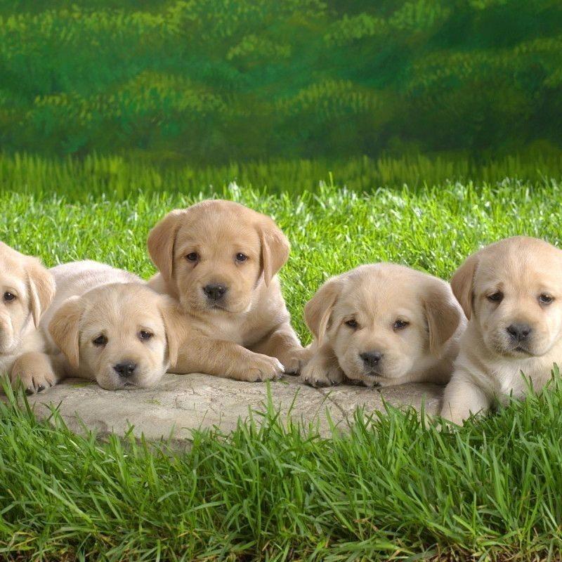 10 Top Dogs And Puppies Wallpaper FULL HD 1920×1080 For PC Background 2018 free download cute dogs and puppies wallpapers wallpaper cave images 1 800x800