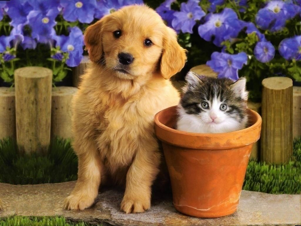 10 New Puppies And Kittens Backgrounds FULL HD 1080p For PC Desktop 2018 free download cute friends a golden moment pinterest dog cat dog and cat 1024x768
