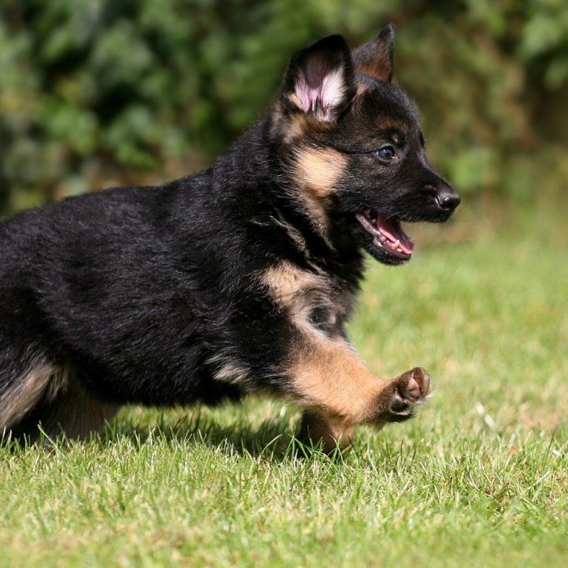 10 Top German Shepherd Puppy Wallpaper FULL HD 1920×1080 For PC Desktop 2020 free download cute german shepherd puppy wallpaper 800x800