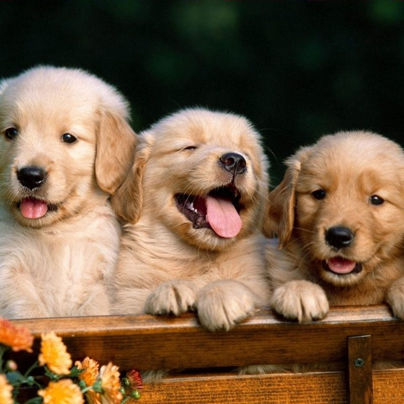 10 Most Popular Golden Retriever Puppy Wallpaper FULL HD 1920×1080 For PC Background 2018 free download cute golden retriever puppies wallpaper for your computer desktop 800x800