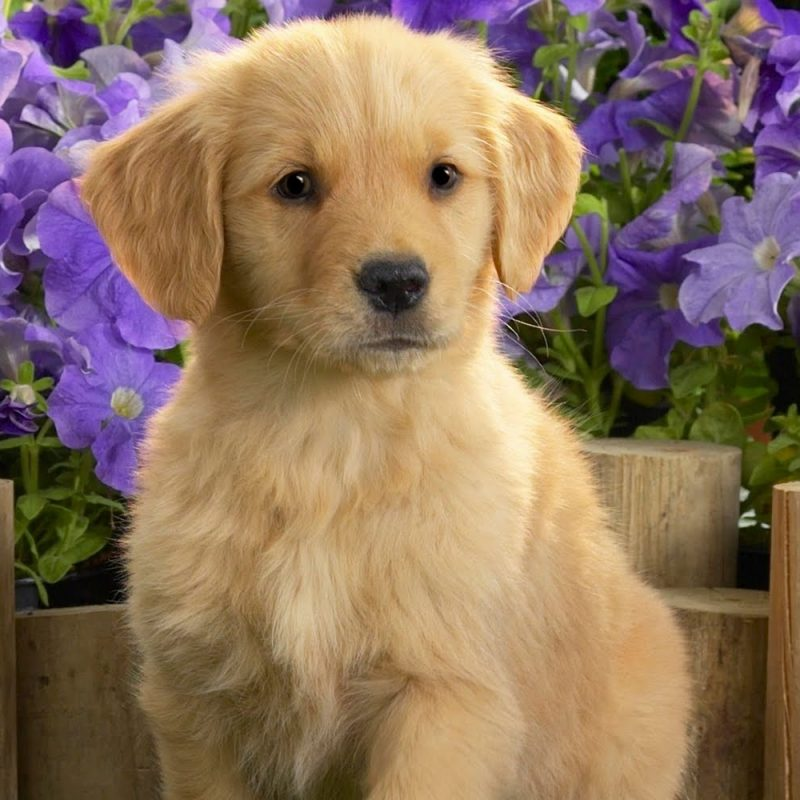 10 Most Popular Golden Retriever Puppy Wallpaper FULL HD 1920×1080 For PC Background 2018 free download cute golden retriever puppy and flowers photo and wallpaper 800x800
