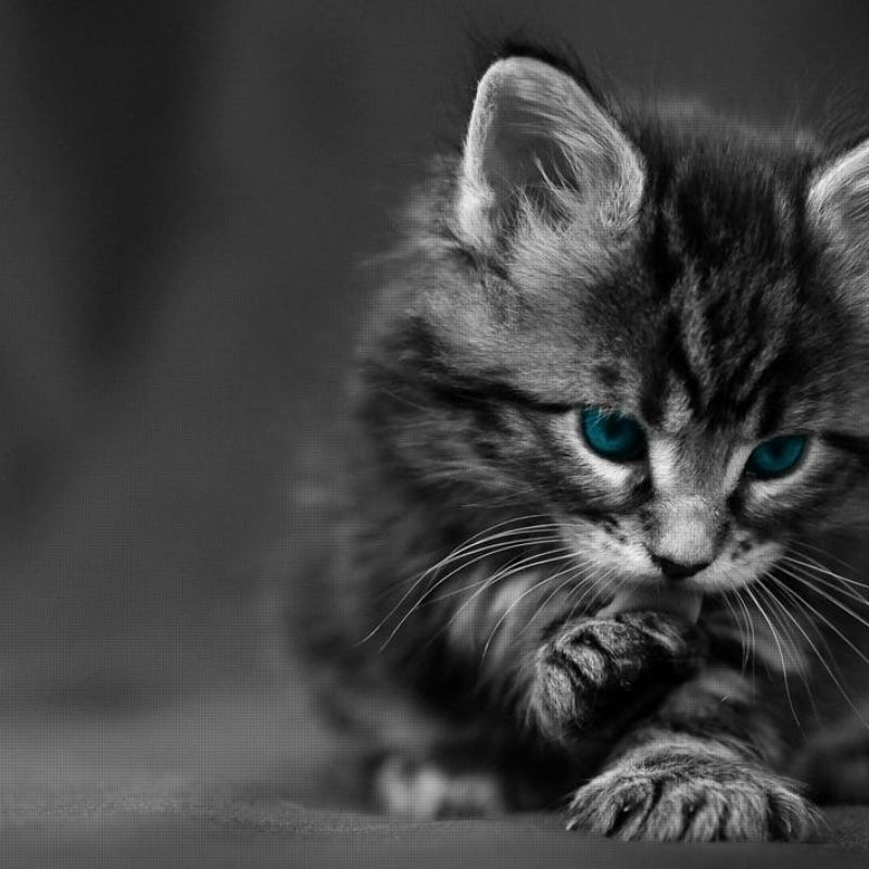 10 New Black And White Cat Wallpaper FULL HD 1080p For PC Desktop 2018 free download %name