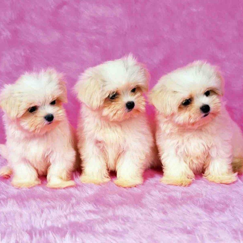 10 Most Popular Cute Puppy Pictures Wallpaper FULL HD 1920×1080 For PC Desktop 2020 free download cute labrador puppy wallpaper sharovarka pinterest 800x800