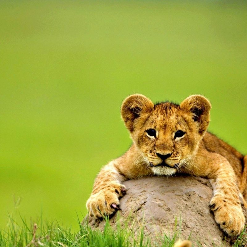 10 New Baby Animals Wallpaper Hd FULL HD 1920×1080 For PC Desktop 2018 free download cute lion baby animal wallpaper hd wallpapers rocks 800x800