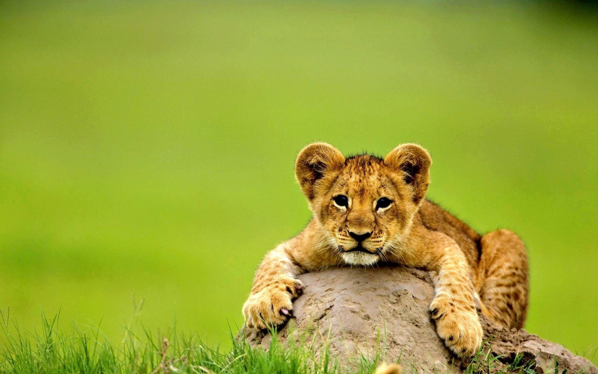 cute lion baby animal wallpaper | hd wallpapers rocks