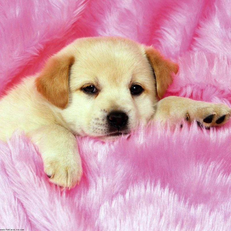 10 Top Dogs And Puppies Wallpaper FULL HD 1920×1080 For PC Background 2018 free download cute little puppys puppy pictures widescreen with small high quality 800x800