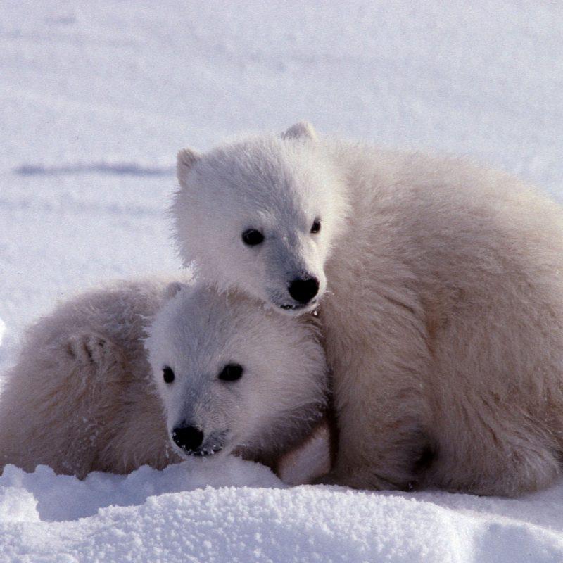 10 New Cute Polar Bear Wallpaper FULL HD 1920×1080 For PC Background 2018 free download cute polar bear background wallpaper 07772 baltana 800x800
