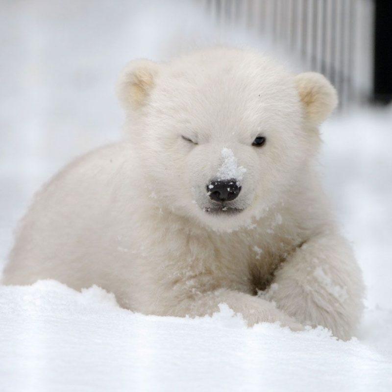 10 New Cute Polar Bear Wallpaper FULL HD 1920×1080 For PC Background 2018 free download cute polar bear hd images 07774 baltana 800x800