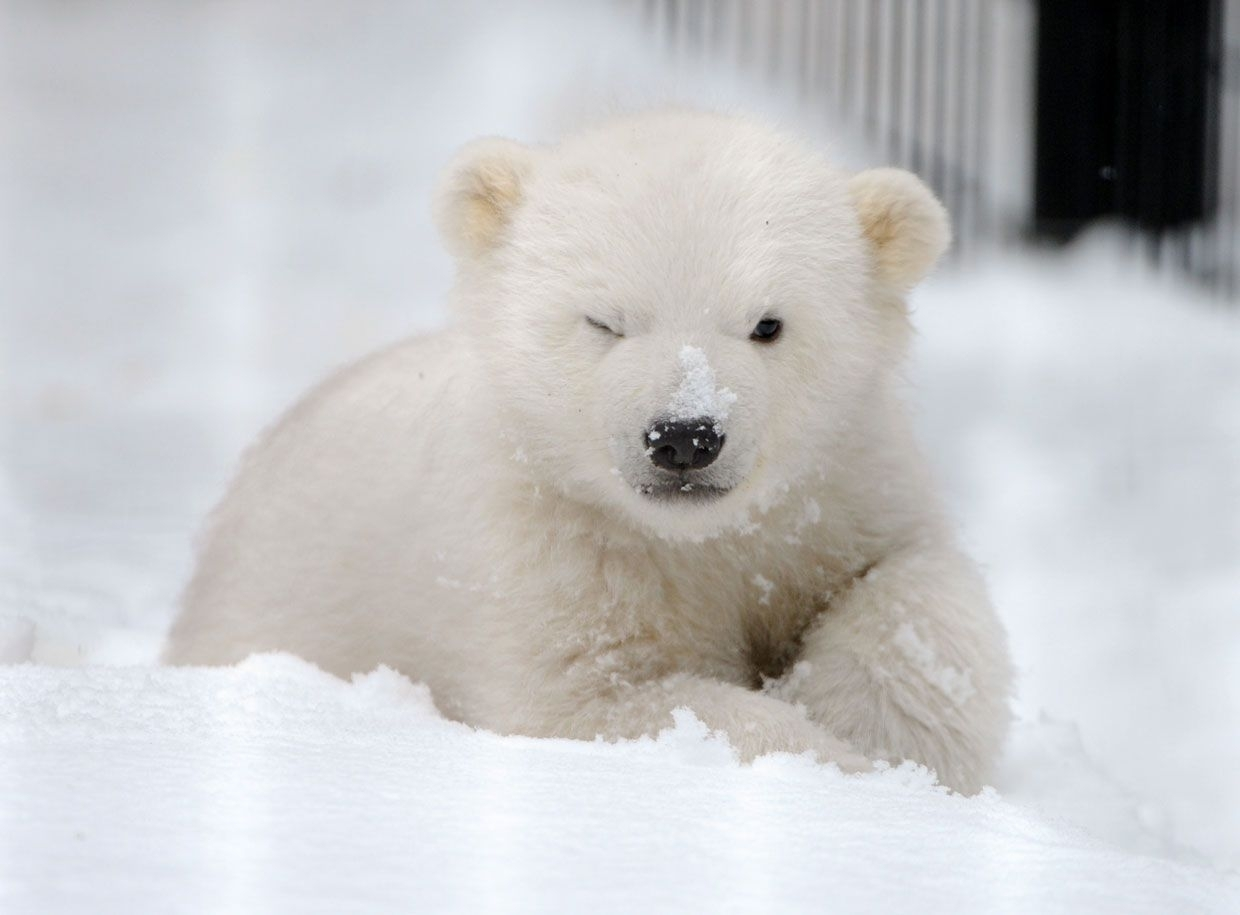 cute polar bear hd images 07774 - baltana