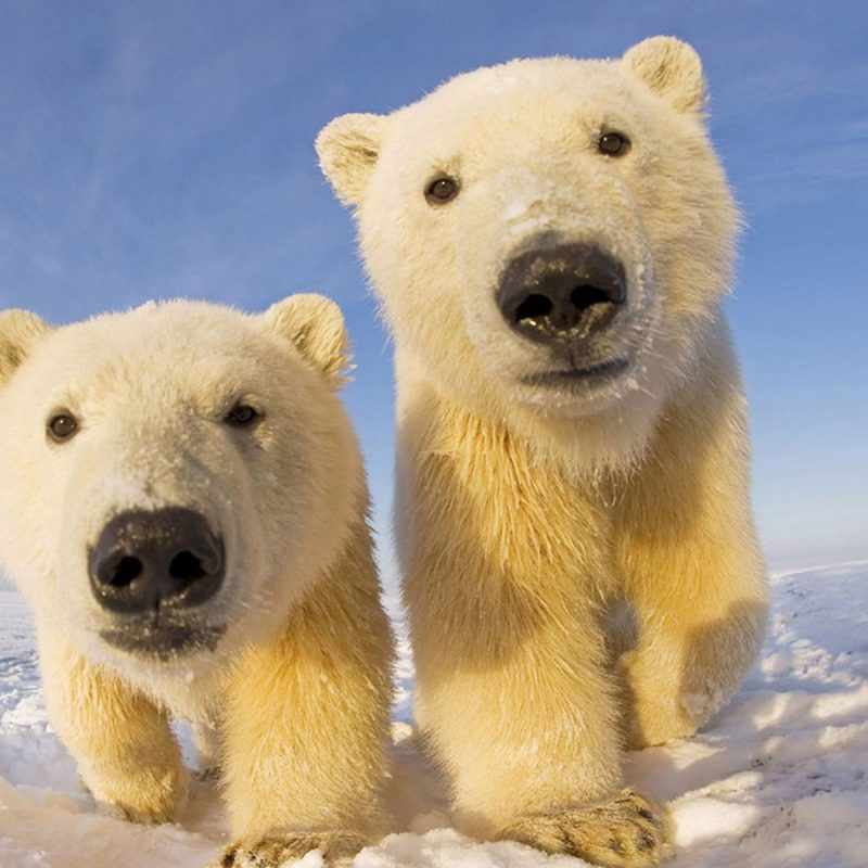 10 New Cute Polar Bear Wallpaper FULL HD 1920×1080 For PC Background 2018 free download cute polar bear pictures 07778 baltana 800x800
