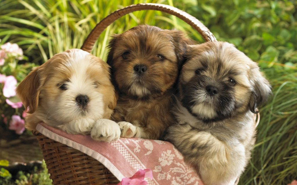 10 Most Popular Cute Puppy Hd Wallpapers FULL HD 1080p For PC Desktop 2018 free download cute puppies 2 wallpapers hd wallpapers id 8237 1024x640