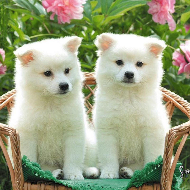 10 Most Popular Cute Puppies Wallpapers For Computer FULL HD 1920×1080 For PC Background 2018 free download cute puppies american eskimo wallpaper for your computer desktop 800x800