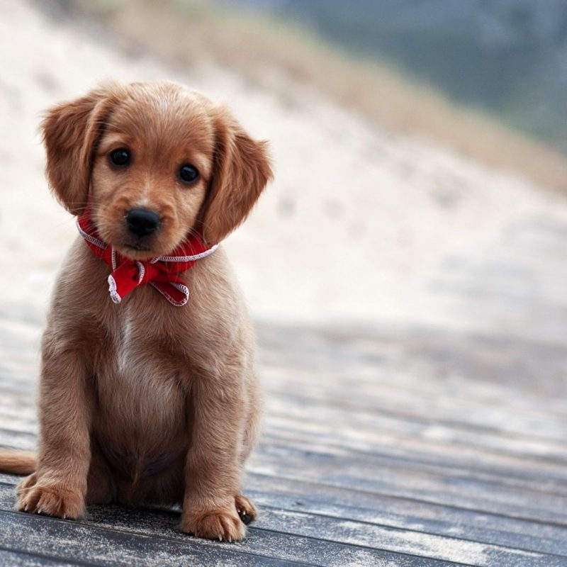10 Most Popular Puppies Wallpapers Free Download FULL HD 1920×1080 For PC Background 2018 free download cute puppies wallpapers free download wallpapers hd wallpapers 800x800