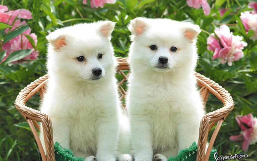 10 Most Popular Cute Puppy Hd Wallpapers FULL HD 1080p For PC Desktop 2018 free download cute puppy desktop wallpapers wallpaper cave 1024x640