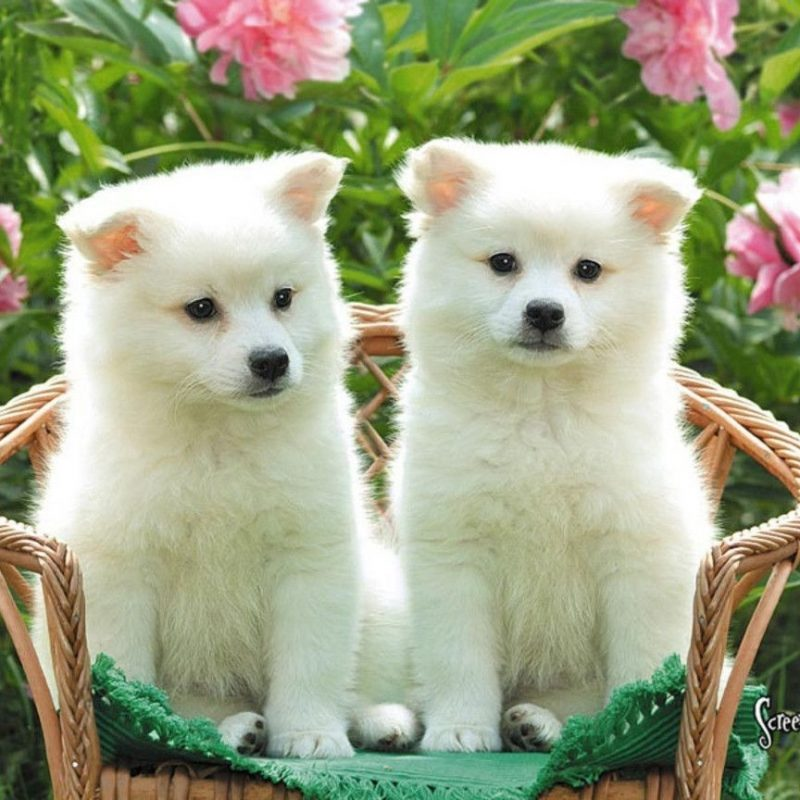 10 New Cute Baby Dogs Wallpaper FULL HD 1920×1080 For PC Desktop 2018 free