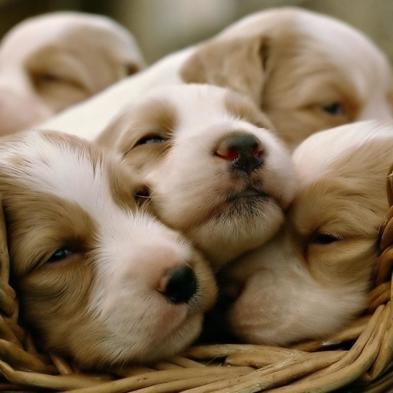 10 New Puppies Wallpaper For Desktop FULL HD 1080p For PC Background 2018 free download cute puppy wallpapers for desktop 58 images 1 800x800