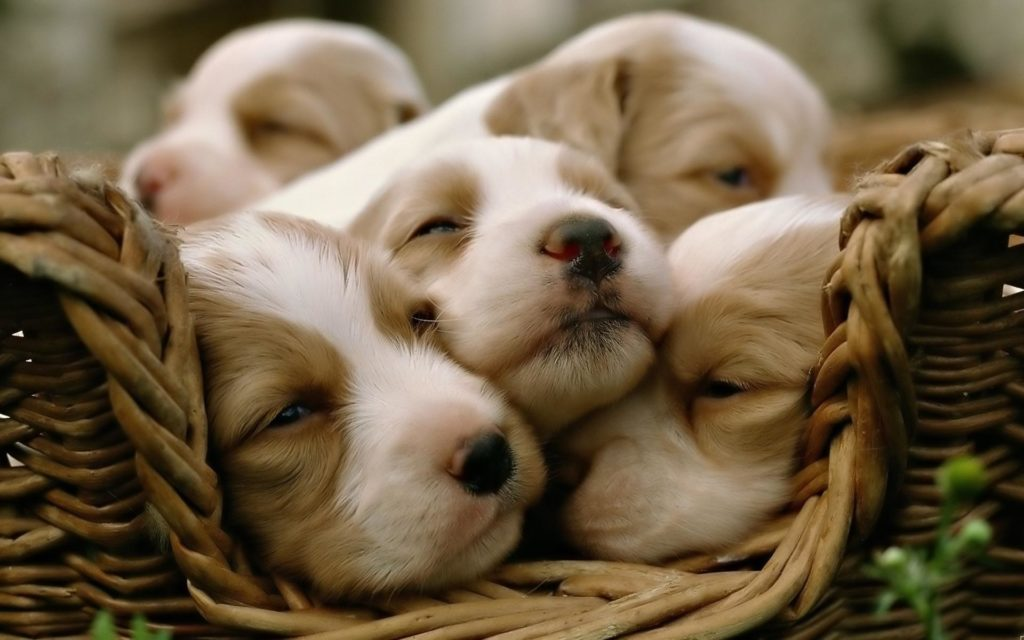 10 Most Popular Cute Puppy Hd Wallpapers FULL HD 1080p For PC Desktop 2018 free download cute puppy wallpapers for desktop 58 images 1024x640