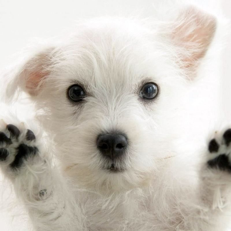 10 Most Popular Cute Puppies Wallpapers For Computer FULL HD 1920×1080 For PC Background 2018 free download cute puppy wallpapers group 79 800x800