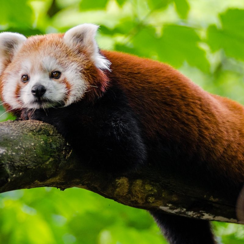 10 Top Red Panda Wallpaper 1920X1080 FULL HD 1920×1080 For PC Background 2018 free download cute red panda e29da4 4k hd desktop wallpaper for 4k ultra hd tv e280a2 wide 800x800