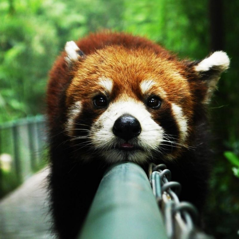 10 Top Red Panda Wallpaper 1920X1080 FULL HD 1920×1080 For PC Background 2018 free download cute red panda wallpaper wallpaper studio 10 tens of thousands 800x800