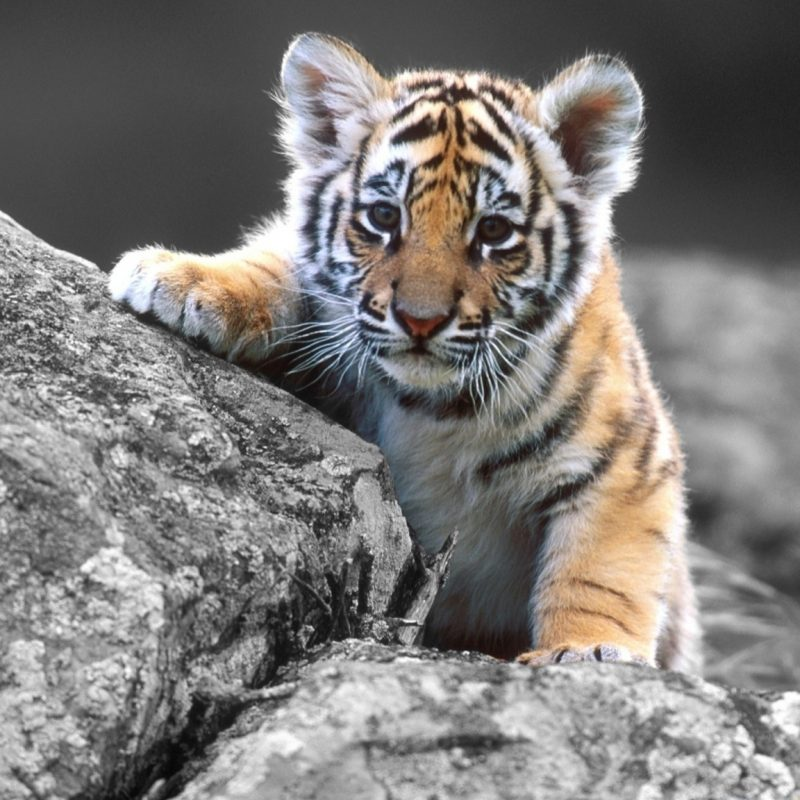 10 New Tiger Wallpaper Hd For Desktop FULL HD 1920×1080 For PC Desktop 2018 free download cute tiger cub e29da4 4k hd desktop wallpaper for 4k ultra hd tv 800x800