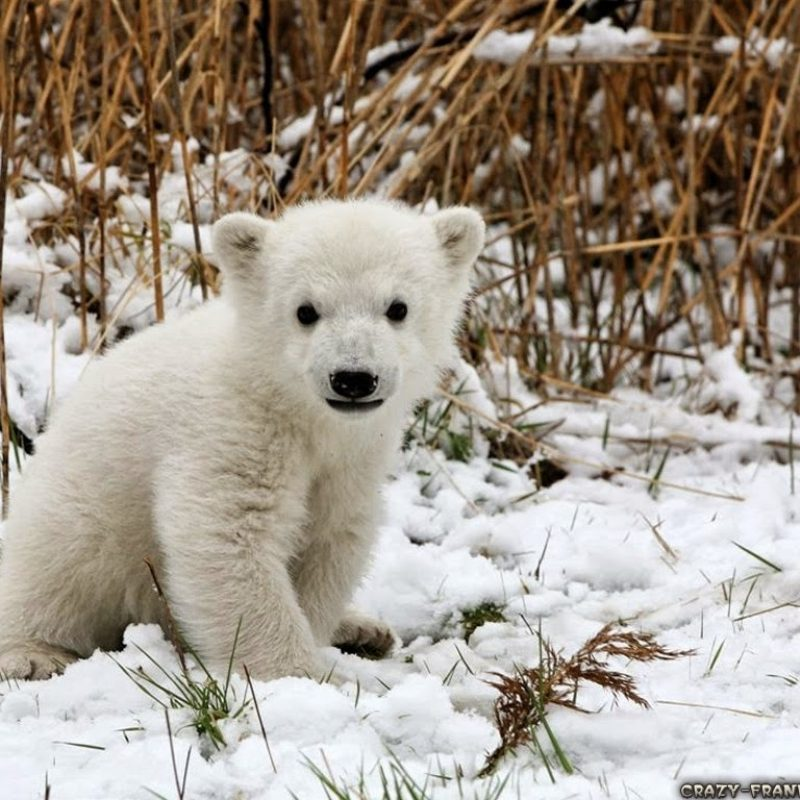 10 New Cute Polar Bear Wallpaper FULL HD 1920×1080 For PC Background 2018 free download cute wild animals wallpapers hd pictures 4 hd wallpapers krishan 800x800