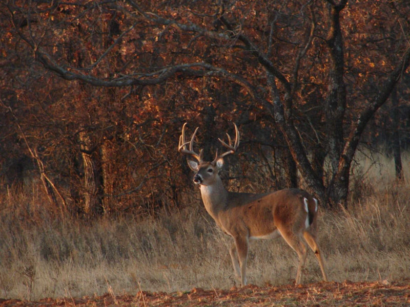 10 Best Whitetail Deer Desktop Background FULL HD 1920×1080 For PC Background 2018 free download deer hunting wallpapers top free deer hunting backgrounds 800x600