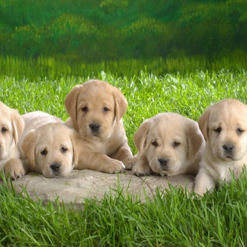 10 New Puppies Wallpaper For Desktop FULL HD 1080p For PC Background 2018 free download desktop blue pitbull puppies images dowload 800x800