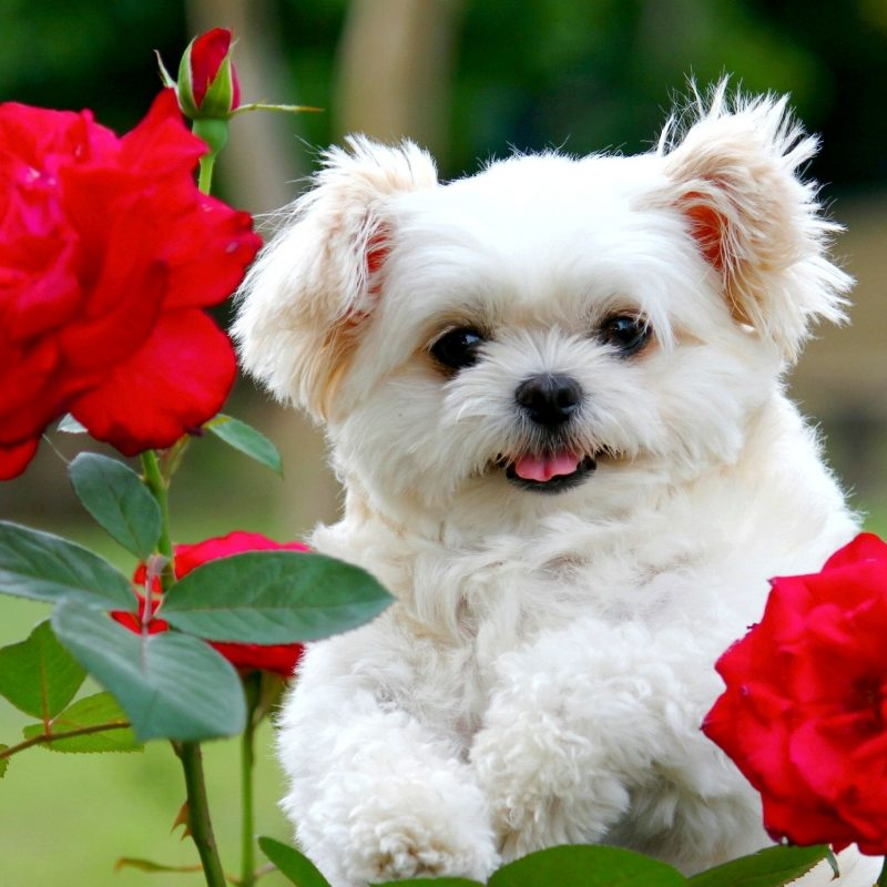 10 Most Popular Cute Puppy Pictures Wallpaper FULL HD 1920×1080 For PC Desktop 2020 free download desktop cute and funny pics of dogs and puppies download whole 800x800