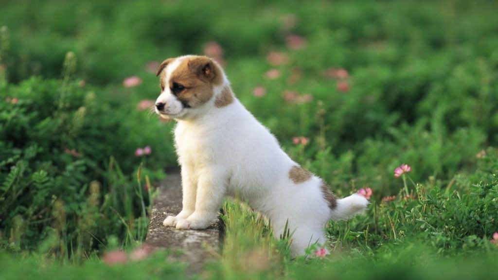 10 Most Popular Cute Puppy Hd Wallpapers FULL HD 1080p For PC Desktop 2018 free download desktop cute puppy and dog pics download 1024x576