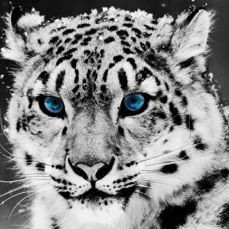 10 Most Popular Black And White Animal Wallpaper FULL HD 1080p For PC Desktop 2018 free download desktop hd animal wallpaper black and white 800x800