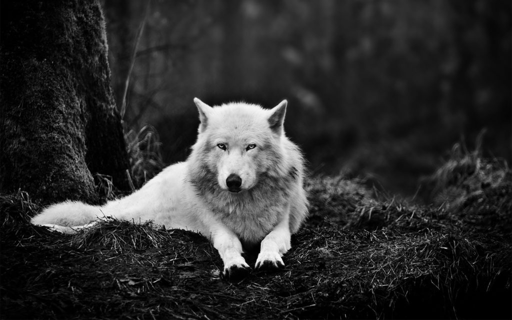 10 Most Popular Black And White Wolf Wallpaper FULL HD 1080p For PC Desktop 2020 free download desktop hd black and white wolf wallpapers 1024x640