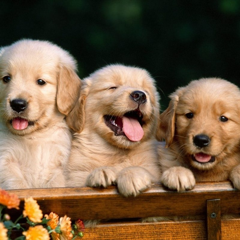 10 New Puppies Wallpaper For Desktop FULL HD 1080p For PC Background 2018 free download desktop puppies dogs images wallpaper 800x800