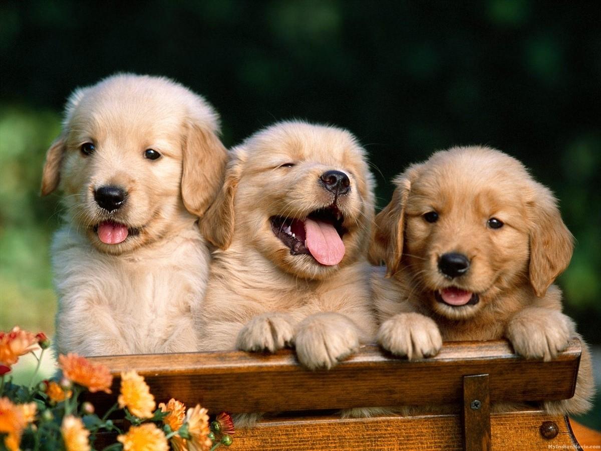 desktop puppies dogs images wallpaper