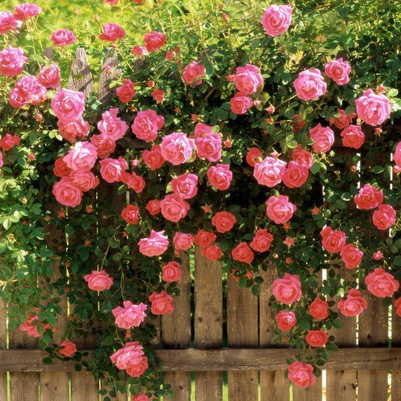 10 Most Popular Rose Wallpaper For Desktop FULL HD 1080p For PC Desktop 2018 free download desktop rose wallpaper desktop backgrounds wallpapers roses 05 800x800