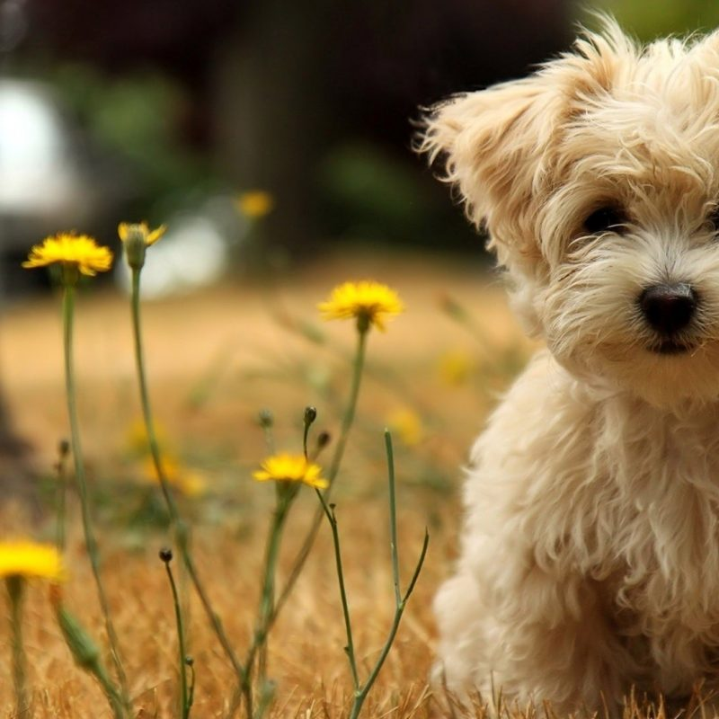 10 New Puppies Wallpaper For Desktop FULL HD 1080p For PC Background 2018 free download desktop wallpaper puppies 2018 cute screensavers 800x800