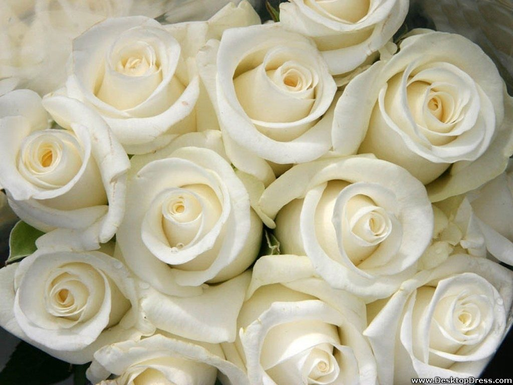 10 New White Roses Background Tumblr FULL HD 1080p For PC Desktop 2020 free download desktop wallpapers flowers backgrounds white roses www 1024x768