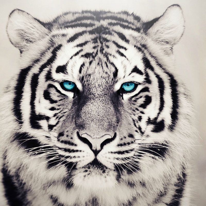10 Latest White Tiger Hd Wallpapers 1080P FULL HD 1080p For PC Desktop 2018 free download desktop white tiger pictures in the wild 800x800