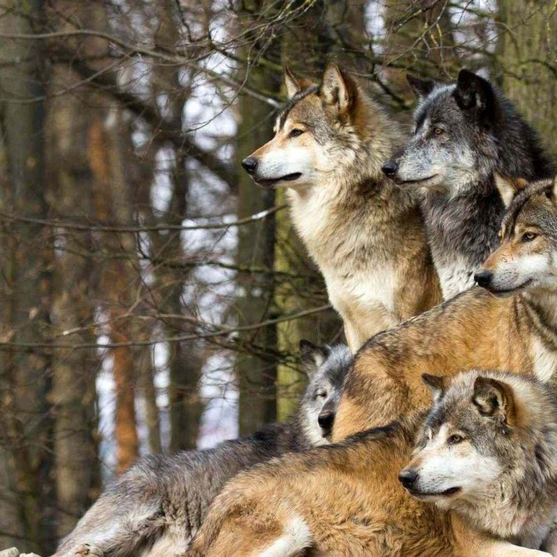 10 Top Wolf Pack Wallpaper 1920X1080 FULL HD 1080p For PC Background 2018 free download desktop wolf pack images free wallpaper 800x800