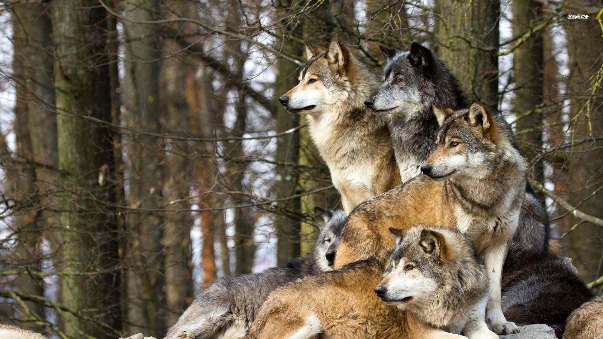 desktop wolf pack images free wallpaper