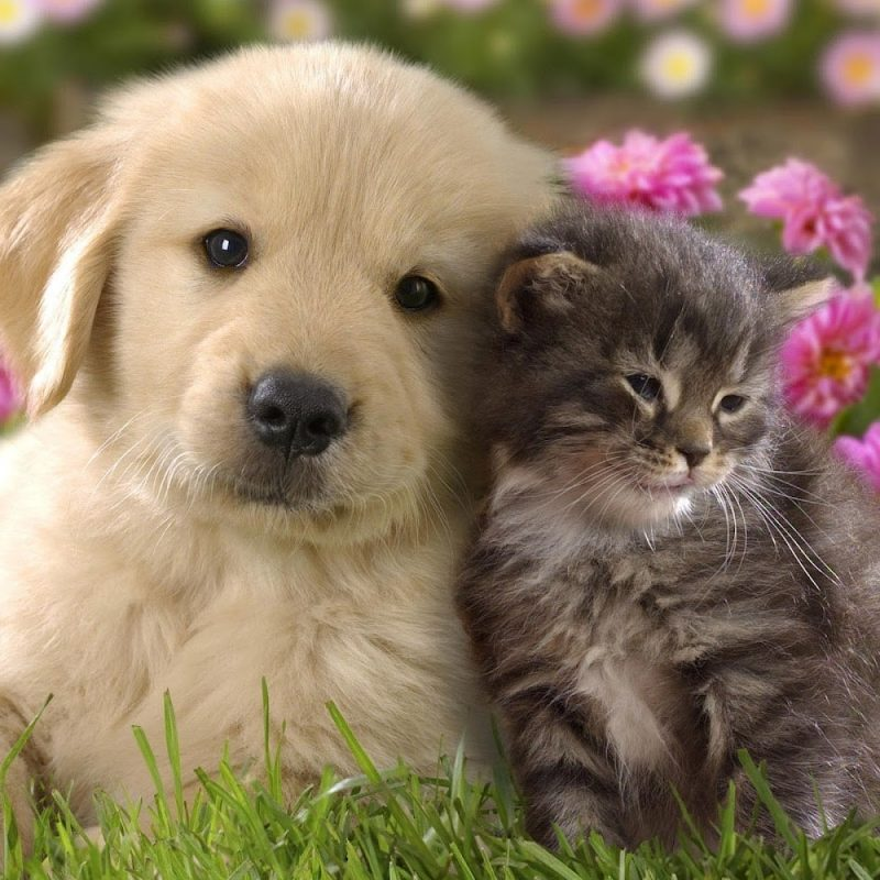 10 New Pics Of Puppys And Kittens FULL HD 1920×1080 For PC Desktop 2018 free download dog cute puppy pussy animal flower dog green cats friend cat garden 800x800