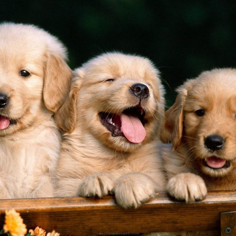10 Most Popular Cute Puppy Wallpaper Hd FULL HD 1920×1080 For PC Background 2018 free download dog wallpapers hd puppy wallpaper free dog wallpapers wallpapers 800x800