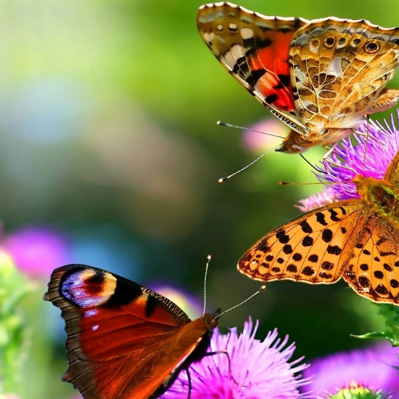 10 Best Wallpaper Butterfly Free Download FULL HD 1920×1080 For PC Desktop 2018 free download download butterfly images inspiration beatiful butterfly hd 800x800