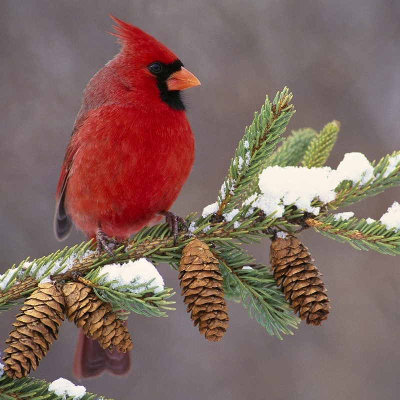 10 Best Cardinal Bird In Snow FULL HD 1080p For PC Background 2018 free download download wallpaper 1920x1080 cardinal bird color branch snow 800x800