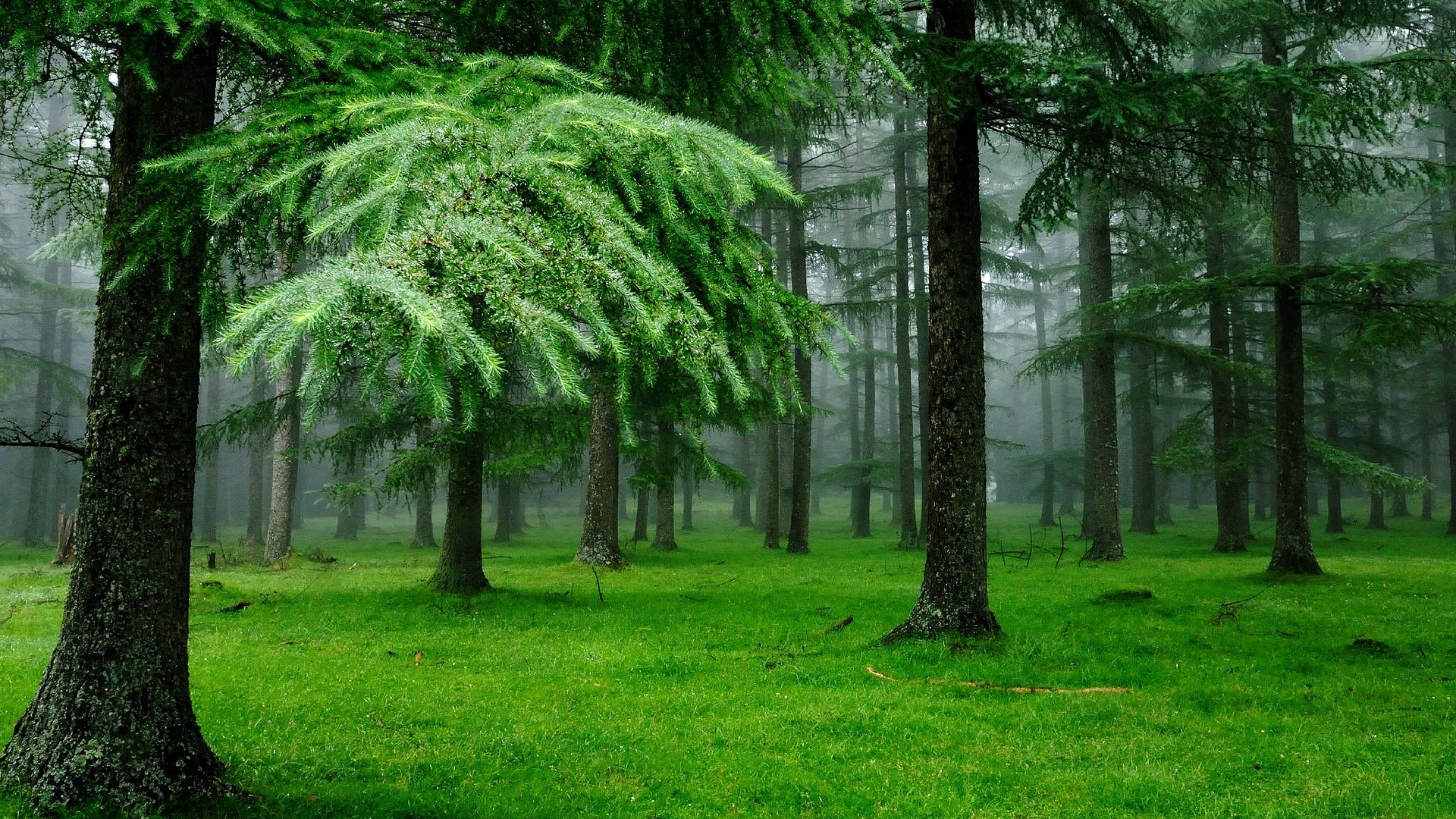 download wallpaper 1920x1080 forest, fog, grass, spruce, trees full